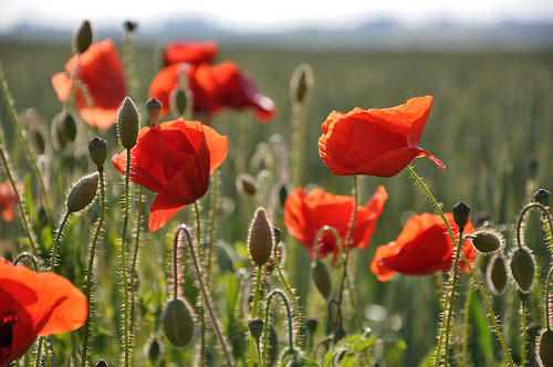 Poppies Remembrance Day England