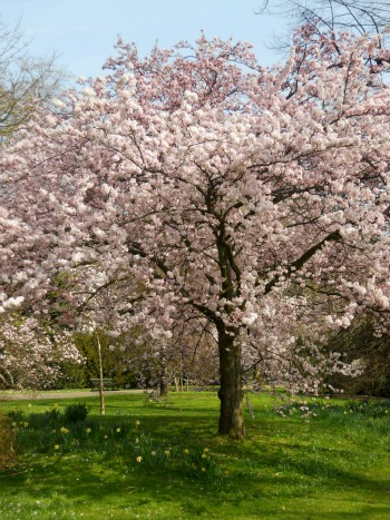Beautiful Spring Blossoms in Kensington Gardens
