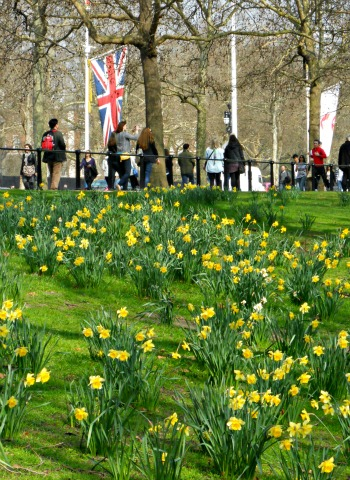 Daffodils in St James's Park London