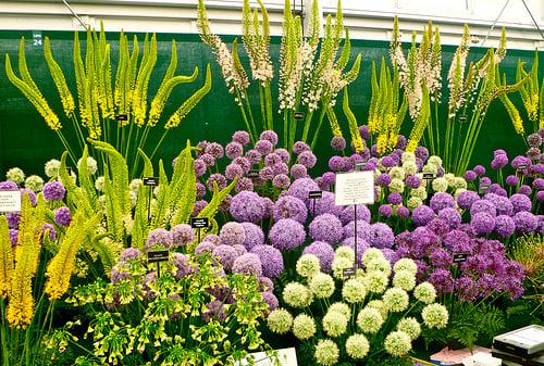 Alliums Chelsea Flower Show London