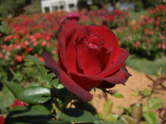The majesty of the rose