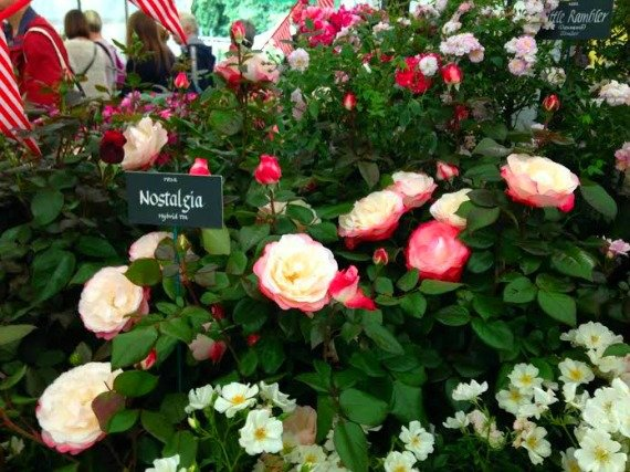 'Nostalgia' Roses for sale.