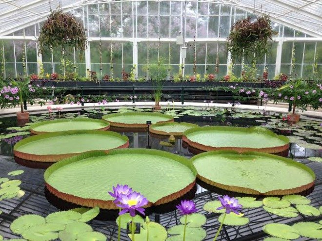 Lillies galore at the Waterlilly House in Kew.