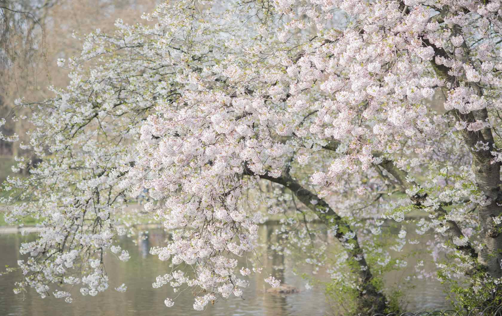 Where See London's Spring Flowers by London Perfect Flowering tree