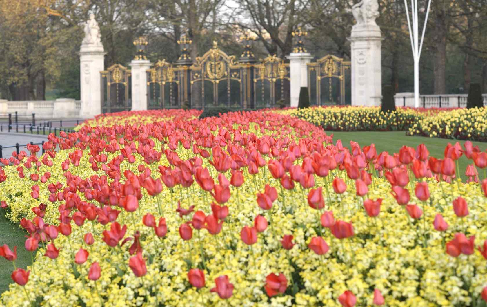London in spring tuilips