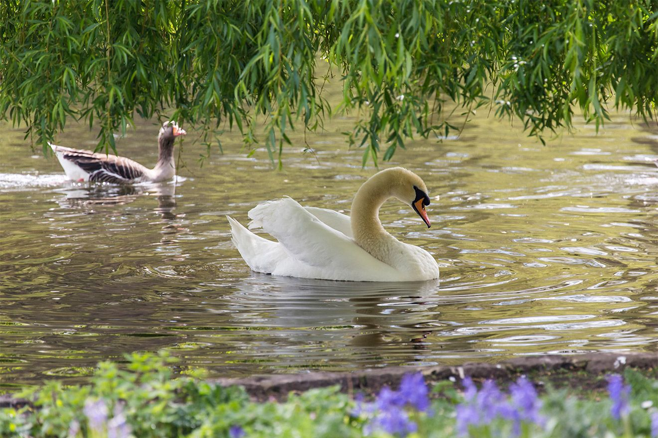 Royal swans at the Saint James park lake