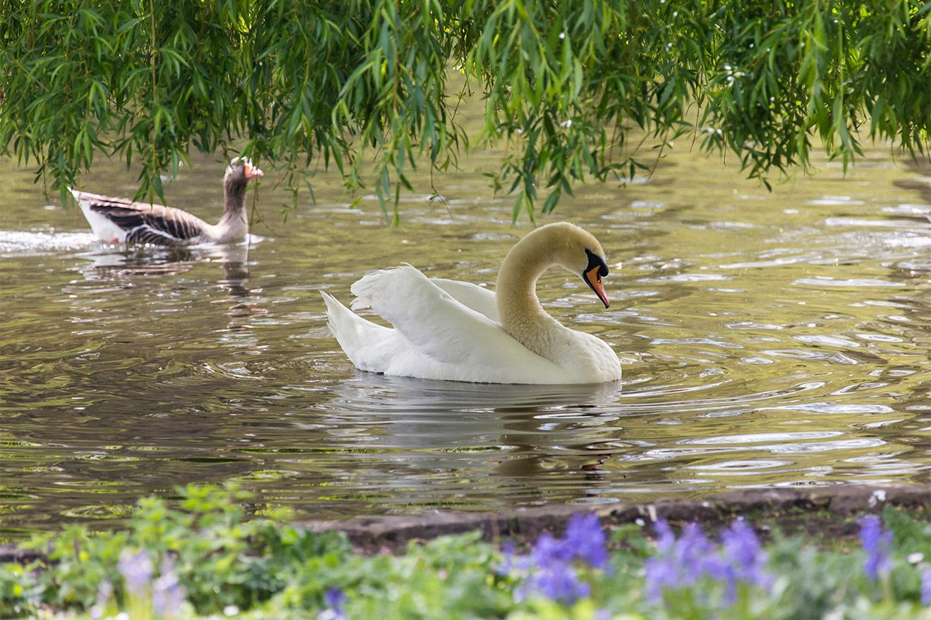 Elegant white swans on the lake in Saint James park